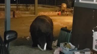 Hotel Guest Unknowingly Walks Right Next to Bear Digging Through Garbage