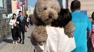 Gigantic Fluffy Poodle Dogs