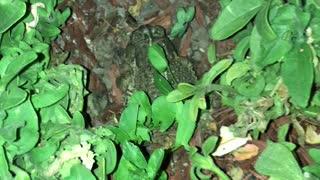 Garden toad eats cricket