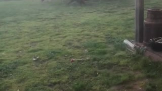 Sheep Rounding up Dogs