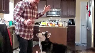 Cute Husky Jumps Up For Treat In Slow Motion
