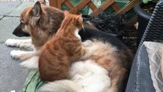 Cat gives German Shepherd Massage Every Morning