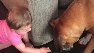 Baby preciously feeds her boxer buddy