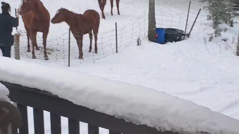Horses Morning feeding