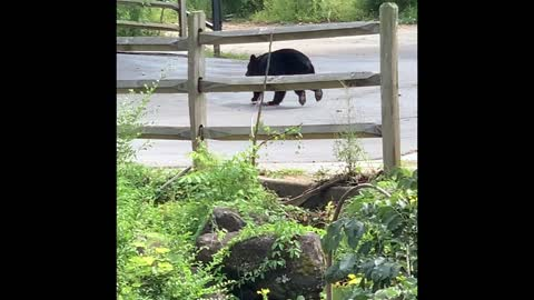 Car Scares Bear In Downtown Gatlinburg Tennessee