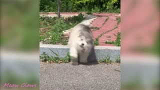 Baby alaskan malamute cutest and funniest moments compilation❤❤❤❤