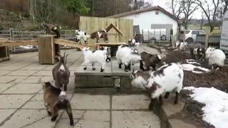 Pygmy goats enjoy a bit morning exercise!
