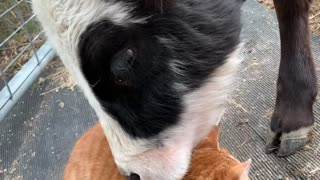 Cow Nuzzles Cat Best Friend
