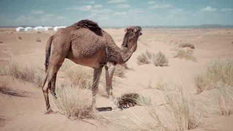 Animal camel desert ship