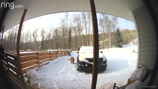 Dogs Meet Moose in Alaskan Front Yard