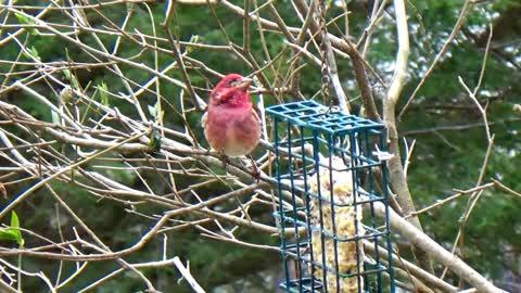 Curious Cardinal