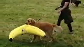 Golden Retriever carries off giant stuffed banana