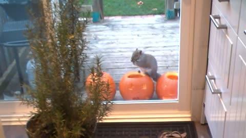 Pumpkin seeds thief squirrel