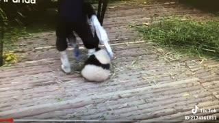 Naughty panda bear