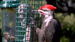Small woodpecker clears runway for gigantic incoming woodpecker