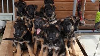 Litter of German Shepherd Puppies Tilt Heads in Confusion