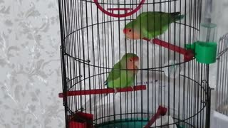 These cute pet parrots live at my house.