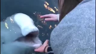 Never thought I'd see a beluga whale retrieving an Iphone for someone!