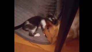 Cat cuddles with dog best friend