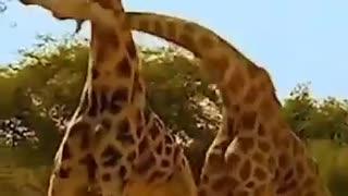 fight between giraffes