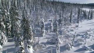 Frozen Planet: Wolves of Winter