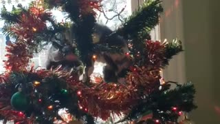 Cute cat obsessed with Christmas tree ornaments