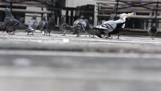 The most expensive pigeons in the world carry messages and fly more than 100 miles