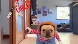 French Bulldog in Chuckie costume is adorably terrifying