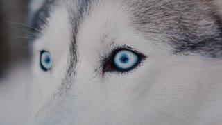 breed Siberian husky