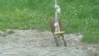 Cute Baby Moose who is trying to have fun