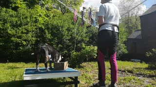 English Bull Terrier helps his owner with the laundry