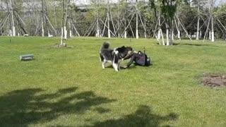 Having Fun with Husky
