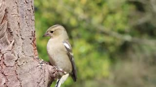 Watch and enjoy how the goldfinch gets food from its storeroom, which it has dug into the tree trunk