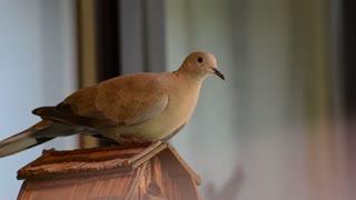Lovely Dove 03