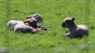 Watch the little lamb lying on the grass in the sunshine with his friends at the countryside farm