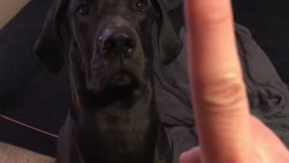 Great Dane gets sweet revenge after getting booped