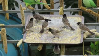 Watch the beauty of these birds as they eat and sing
