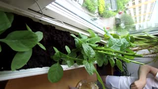 spinach time-lapse