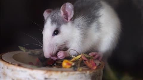 Rat Nager Eat Chucks Food Grains Cute Smart