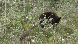 Black Bear Bear Canada Yukon Nature Animal World
