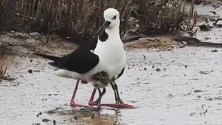 Baby pied stilts have been scientifically proven to be a cutest