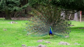 funny animals videos : funny peacock attaking people