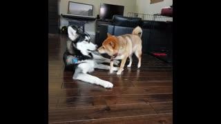 Husky And Shiba Inu Act Just Like Human Siblings