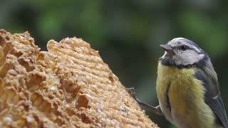 Bird Eating Blue Tit