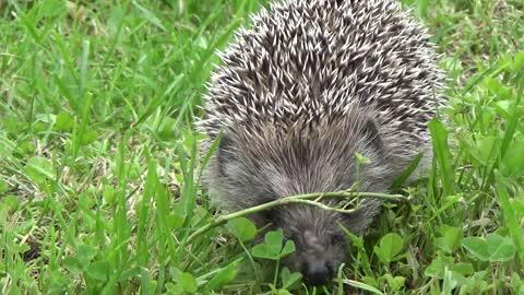 Cute Hedgehog Taking A Stroll