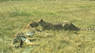 yes the cheetah is very beautiful