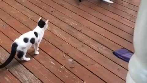 Cat chasing laser, always funny!