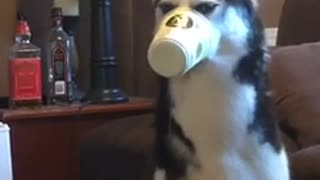 Husky loves ice cream, gets cup stuck on snout