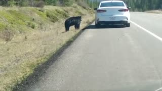 Tourists Taunt Black Bear for Photo Opportunity