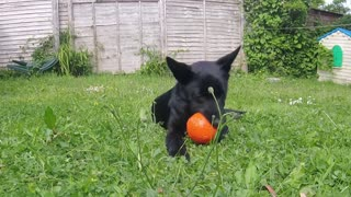 Adorable puppy can't believe his new ball squeaks
